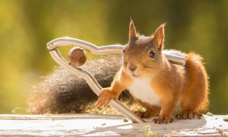 Das Eichhörnchen knackt die Nuss: Dem Nussknacker sei Dank