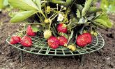 Erdbeer-Reifen